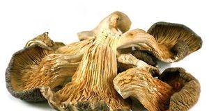 Mushroom Oyster 300x160 - Kurutulmuş istiridye mantarı