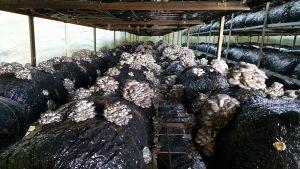 20170226 115102 300x169 - İstiridye mantarı üretim odalarimizdan fotoğraflar