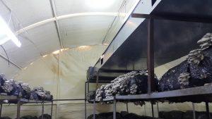 20170226 115127 300x169 - İstiridye mantarı üretim odalarimizdan fotoğraflar