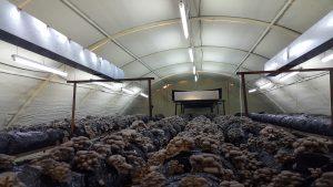 20170226 115147 300x169 - İstiridye mantarı üretim odalarimizdan fotoğraflar