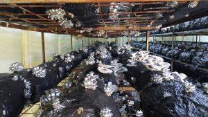 20170226 115237 300x169 - İstiridye mantarı üretim odalarimizdan fotoğraflar