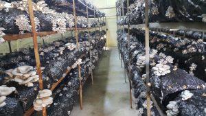 20170226 115245 300x169 - İstiridye mantarı üretim odalarimizdan fotoğraflar